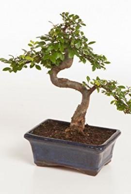 arbre bonsa chinois orme