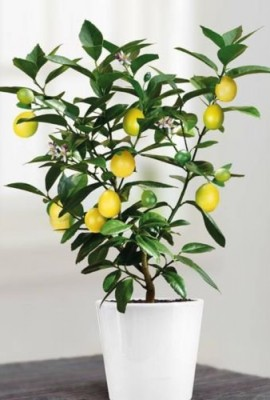 10-graines-de-citronnier-citron-jaune-bansai-0