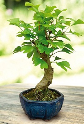 Bonsa-Ginko-Biloba-1-arbre-0