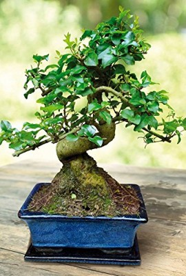 Bonsa-Ligustrum-7-ans-1-arbre-0
