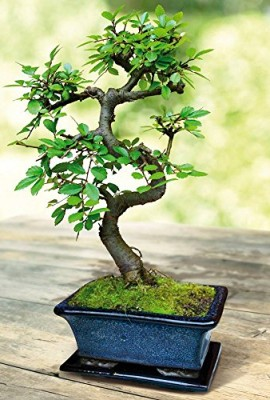 Bonsa d 39 int rieur entretien bonsai for Entretien bonsai interieur