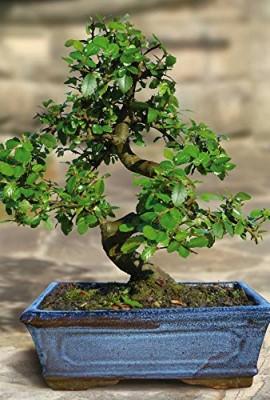 Bonsa-Orme-ChinoisUlmus-parviflora-S-forme-9-ans-1-arbre-0