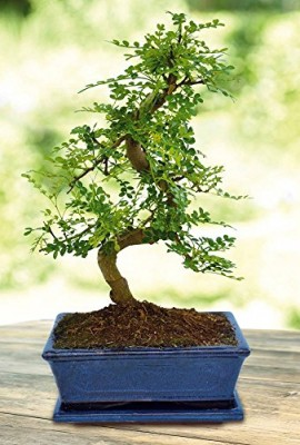 Bonsa-Zanthoxylum-20cm-forme-S-1-arbre-0