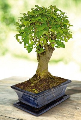 Bonsai-Ligustrum-nitida-Pot-20cm-1-arbre-0