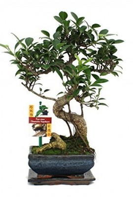 Fig-chinois-de-bonsa-Ficus-retusa-6ans-0