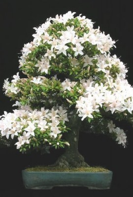 Tropica-Lot-de-30-graines-de-bonsa-cerisier-de-Sainte-Lucie-Prunus-mahalep-0