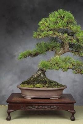 Tropica-Lot-de-30-graines-de-bonsa-pin-noir-du-Japon-Pinus-thunbergii-0