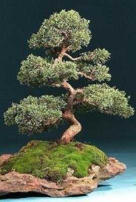 Tropica-Lot-de-30-semences-de-bonsa-de-genvrier-de-Chine-Juniperus-chinensis-0