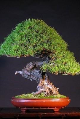 Tropica-Lot-de-40-semences-de-bonsa-de-pin-rouge-du-Japon-Pinus-densiflora-0