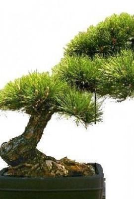 Tropica-bonsa-pin-jaune-Pinus-ponderosa-20-graines-0