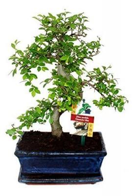 bonsa-Orme-parvifolia-Style-S-9-yr-1-arbre-0