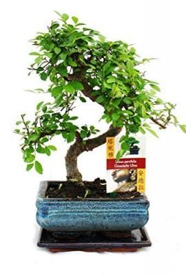 chinois-orme-basique-intrieurextrieur-arbre-bonsa-avec-correspondance-plateau-egouttage-15cm-0