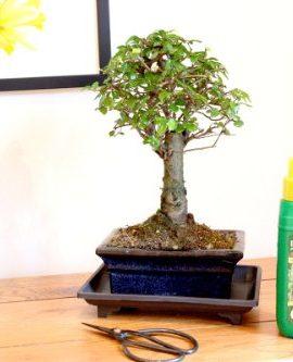Coffret-cadeau-bonsa-Orme-de-Chine-Balai-15-cm-0